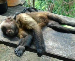 Macacos encontrados mortos são diagnosticados com febre amarela em RO