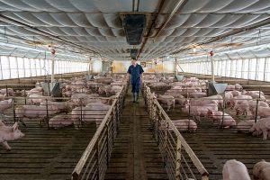 China promove dieta de porcos e outros meios para lidar com guerra comercial
