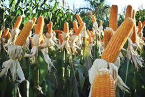 Rondônia adquiri junto a CONAB mais de 1,5 mil toneladas de milho