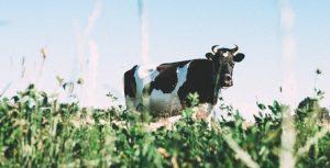Preparação de novilhas e vacas para estação de monta é tema de palestra ao vivo no Facebook da Ourofino
