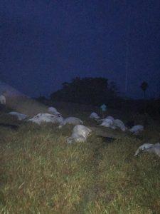 Machadinho: Na tarde deste sábado, 21, tempestade com raios mata 15 cabeça de gados na LH LJ 09