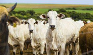 Porto Velho tem o 7º maior rebanho bovino do Brasil