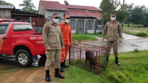 Machadinho: Bombeiros capturam capivara em residência no centro do município; Vídeo