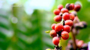 Pesquisa mostra que presença de abelhas pode aumentar a produção do café em Rondônia