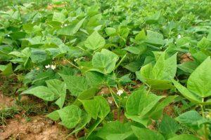 Rondônia deve produzir 4,4 mil toneladas de feijão na safra 2020/2021; área plantada é de 3,9 mil hectares