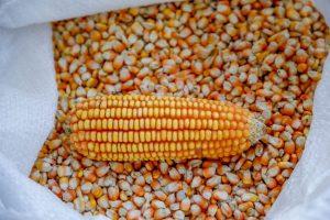 Rondônia é o único Estado brasileiro a registrar aumento na produtividade do milho na segunda safra de 2020/21