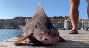 Tubarão com aparência de porco é encontrado em ilha
